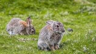 """Une enquête a été ouverte dansles Côtes-d'Armor pour retrouver l'auteur """"d'actes de cruauté contre des lapins"""", rapporte la gendarmerie le 25 octobre 2018. (PHILIPPE CLEMENT / DPA / AFP)"""