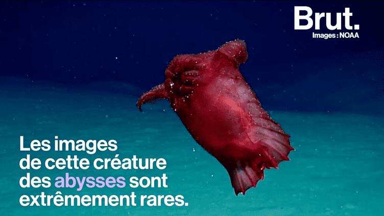 """VIDEO. """"Le poulet sans tête"""" : une étrange créature abyssale filmée en Antarctique (BRUT)"""
