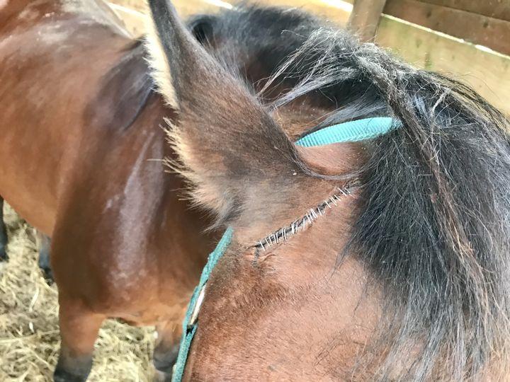 L'oreille mutilée du poneyde Roxane. (NOEMIE BONNIN / RADIO FRANCE)