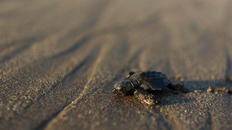 Une jeune tortue olivâtre gagne l'eau sur la plage de San Diego, au Salvador, le 20 novembre 2010. (JOSE CABEZAS / AFP)