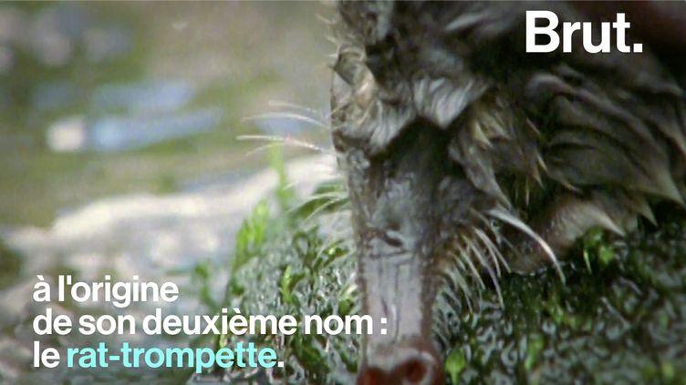 VIDEO. Le rat-trompette, un animal mystérieux et menacé (BRUT)