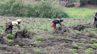 Sur les collines de l'est du Rwanda, on cultive du café, de la canne à sucre et des bananes. Mais depuis quelques années, de nouvelles plantes ont fait leur apparition, comme du patchouli. (CAPTURE ECRAN FRANCE 2)
