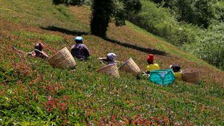 Plantation de thé pourpre àMuranga,Kenya, le30 janvier 2021 (REUTERS/THOMAS MUKOYA)