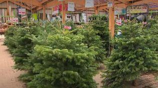 Avec la sécheresse et le réchauffement climatique, de nombreux sapins des Vosges ont perdu leur belle couleur verte. (france 3)