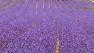 Dans ce bout de Sud-Ouest, la culture de la lavande date des années 1920 pour en produire de l'huile essentielle, trésor des agriculteurs. (France 3)