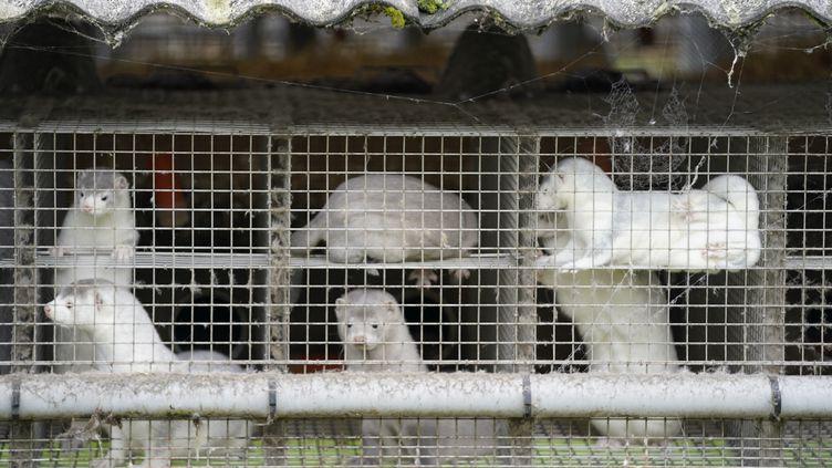 Dans un élevage de visons au Danemark (photo d'illustration). (MADS CLAUS RASMUSSEN / RITZAU SCANPIX / AFP)