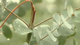 Ces dernières semaines dans le Var, des centaines de kilos d'eucalyptus ont été dérobées pour être revendues,selon les producteursfrançais, en Italie, chez des fleuristes ou des parapharmacies. (FRANCE 2)