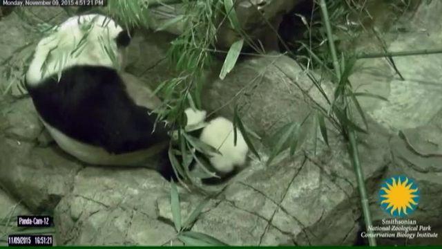 Le bébé panda du zoo de Washington fait ses premiers pas;