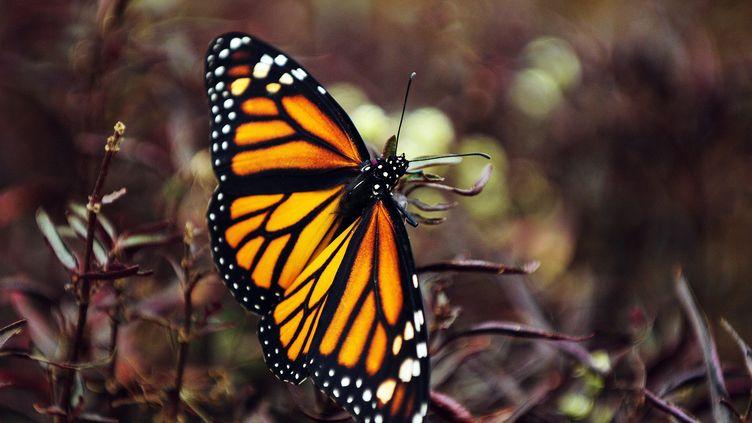 Un papillon monarque, le 25 janvier 2014, dans le district de Monteverde (Costa Rica). (  MAXPPP)