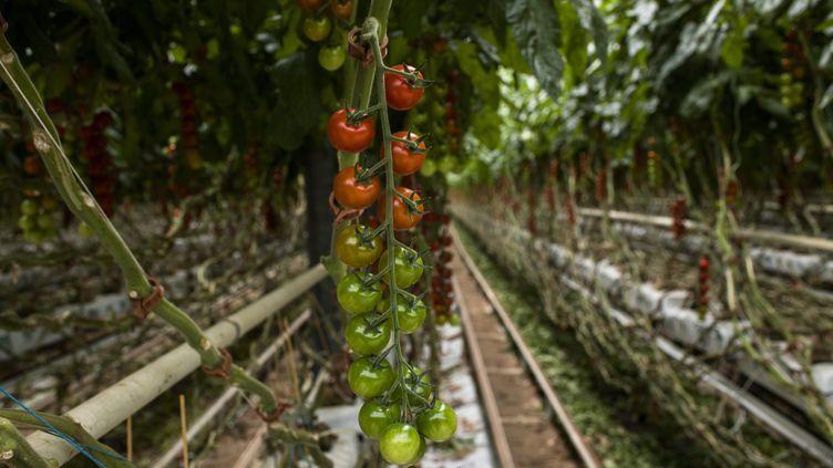 Des tomates cultivées sous serre, àSaint-Cyprien (Pyrénées-Orientales), le 11 avril 2019. (MAXPPP)