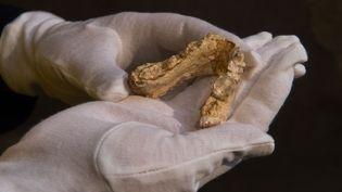 Machoire inférieure d'un hominidé Graecopithèque trouvé en Allemagne en mai 2017.  (MARIJAN MURAT / DPA / AFP)
