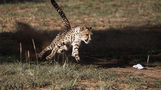 Un guépard à laFondation de conservation du guépard, à Otjiwarango, en Namibie, le 18 février 2016. (GIANLUIGI GUERCIA / AFP)