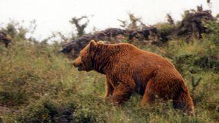 Un ours dans le massif des Hautes-Ariège, le 30 décembre 2003. (M. HILTENBRANDT / MAXPPP)