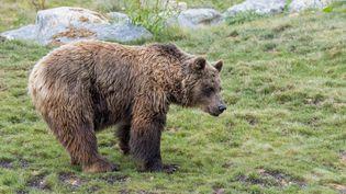 Depuis le début des réintroductions en 1996, on estime qu'il y a aujourd'hui près d'une cinquantaine d'ours dans les Pyrénées. Image d'illustration d'un ours brun d'Europe. (PHILIPPE CLEMENT / MAXPPP)
