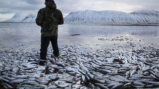 Entre 25 et 30 000 tonnes de harengs sont morts asphyxiés depuis décembre dernier en raison d'un manque d'oxygénation des fjords situés à l'ouest de l'Islande, le 5 février 2013. (BRYNJAR GAUTI / AP / SIPA)