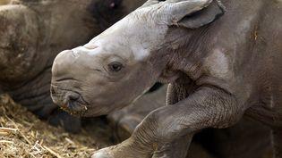 Le petit rhinoceros né au zoo de Ramat Gan (Israël), le 15 juin 2012. (JACK GUEZ / AFP)