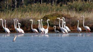 Des flamants roses sur l'étang de Biguglia, enHaute-Corse. (MAXPPP)