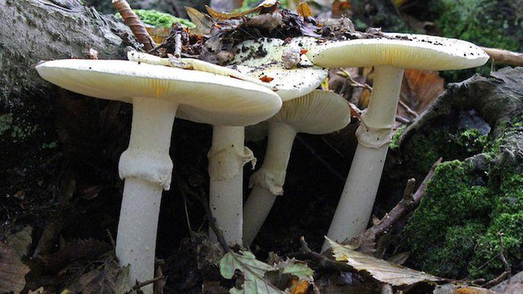 Des amanites phalloïdes, champignons vénéneux parmi les plus dangereux. (Crédits Photo : Creative Commons / Stu's Images)