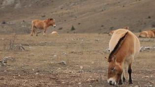 La mission semblait impossible, et pourtant, un groupe de scientifiques est parvenu à sauver les derniers chevaux sauvages de la planète. Le cheval de Przewalski, qui vit actuellement en Lozère, est une espèce préhistorique que nos très lointains ancêtres de la grotte de Lascaux ont sans doute côtoyée. (france 3)