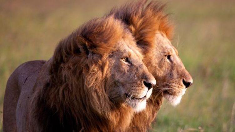 """Les lions de """"Félins"""", rois de la savane  (Disney Nature)"""