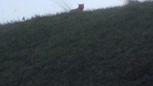 L'animal a été photographié sur un terrain vague de Seine-et-Marne jeudi matin. (JULIE BERDEAUX / FACEBOOK)