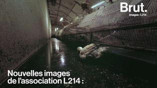 VIDEO. Maltraitance animale : des images chocs d'un élevage de canards révélées par L214 (BRUT)