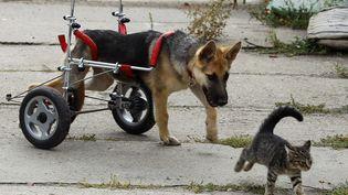 """Grâce à sa """"chaise roulante"""",Ciuchcia peut à nouveau chasser les chats dans le refuge de Piotrkow Trybunalski(Pologne). (PETER ANDREWS / REUTERS)"""