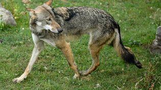 Un loup gris dans un parc animalier. (Illustration). (PHILIPPE HUGUEN / AFP)