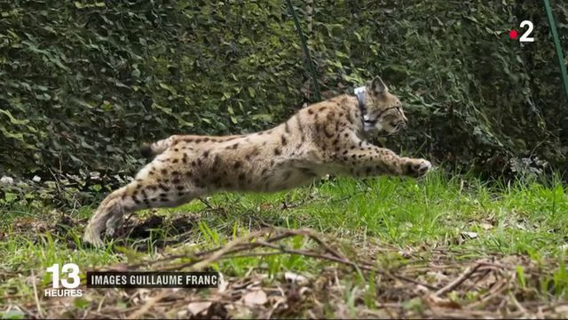 Jura : une femelle lynx retrouve la liberté