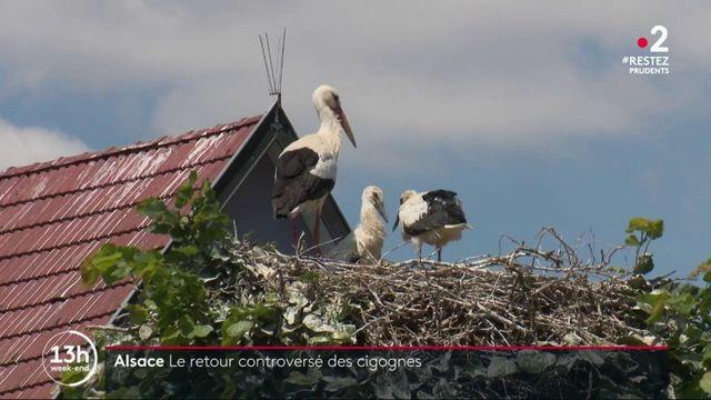 Alsace : la réintroduction à succès des cigognes