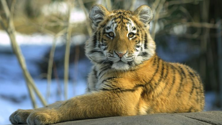 L'un des tigres du zoo du Bronx, à New York, en 2011 (photo d'illustration).         (PETER FOLEY / MAXPPP)
