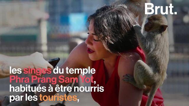 Cerfs qui s'aventurent en ville, hordes de singes affamés qui s'affrontent… D'ordinaire nourris par les touristes, des animaux sauvages aussi subissent les conséquences de lépidémie de Covid-19.