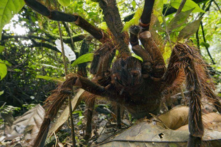 Une araignée Goliath rencontrée par l'entomologiste Pitor Naskrecki lors d'un séjour au Surinam, en 2014. (PIOTR NASKRECKI / MINDEN PICTURES / AFP)
