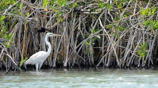 Une grande aigrette dans une mangrove à Mexico. (Illustration) (KALIMF / E+ / GETTY IMAGES)