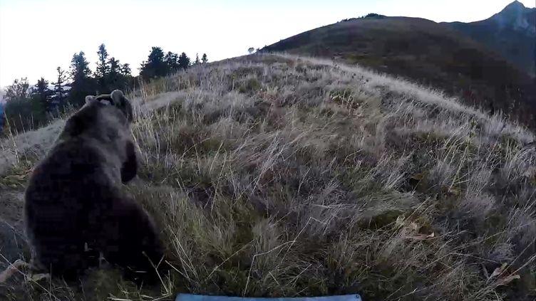 L'une des femelles relâchées dans les Pyrénées atlantiques photographiée le 5 octobre 2018. (ONCFS)