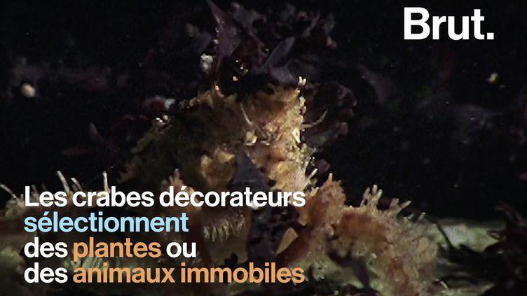 VIDEO. Le crabe décorateur, ou l'art de porter son environnement sur soi pour se protéger (BRUT)
