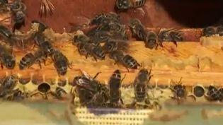 Les abeilles noires sont de retour en nombres dans les montagnes alpestres. C'est une espèce très ancienne, capable de survivre dans des conditions extrêmes en montagne, mais menacée de disparition. (FRANCE 3)
