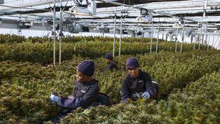 Travail sur les plants de cannabis dans une serre de la société Medigrow au Lesotho. (GUILLEM SARTORIO / AFP)