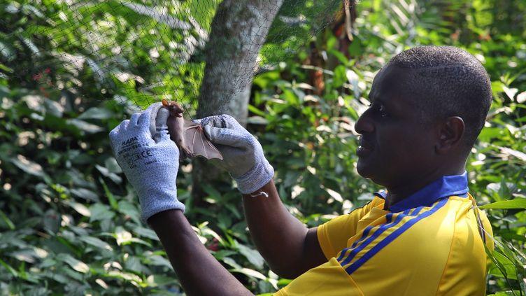 Des prélèvements de salive, de sang et de matières fécales permettent aux chercheurs de déterminer les anticorps du virus Ebola développés par certains de ces petits vertébrés frugivores. La contagion par morsure ou griffure à l'homme et aux grands singes a été suggérée par ces examens. Mieux appréhender le cycle du virus pour le prévenir est l'un des principaux travaux effectués par le Centre international de recherches médicales (CIRMF) de Franceville. Ce laboratoire ultra-sécurisé, baptisé le P4 comme pathogène de classe 4, est l'un des deux en Afrique à traquer les virus mortels. (Steve JORDAN / AFP)