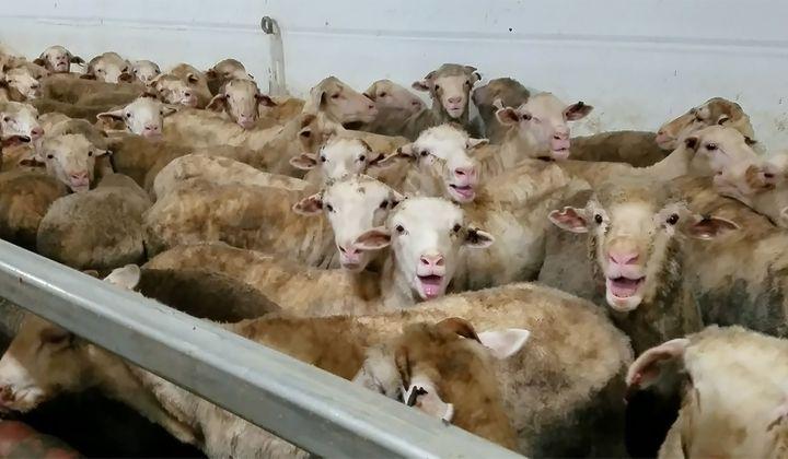 """Des moutons stressés à bord de l'""""Awassi Express"""", le 9 mars 2018. Le transport de 50 000 moutons a été bloqué en Australie après la diffusion des images sur les conditions du voyage maritime entre l'Australie et le Moyen-Orient. (ANIMALS AUSTRALIA / ANIMALS AUSTRALIA)"""