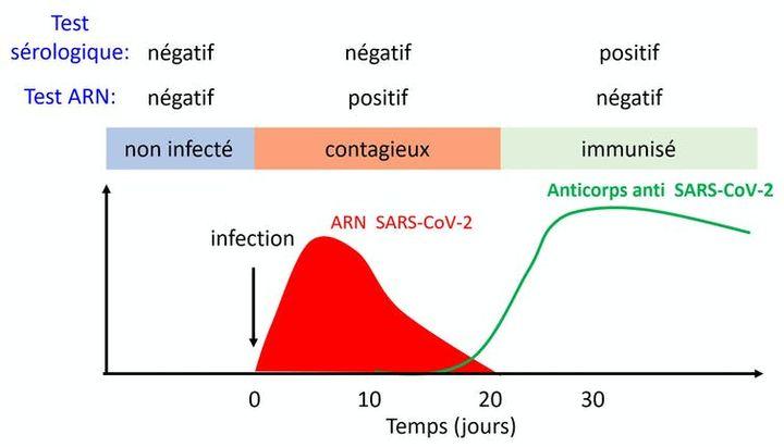 L'immunologiste Eric Muraille, de l'université libre de Bruxelles (Belgique), estime que les doubles tests (PCR et sérologiques) permettent d'identifier trois population distinctes. (ERIC MURAILLE)