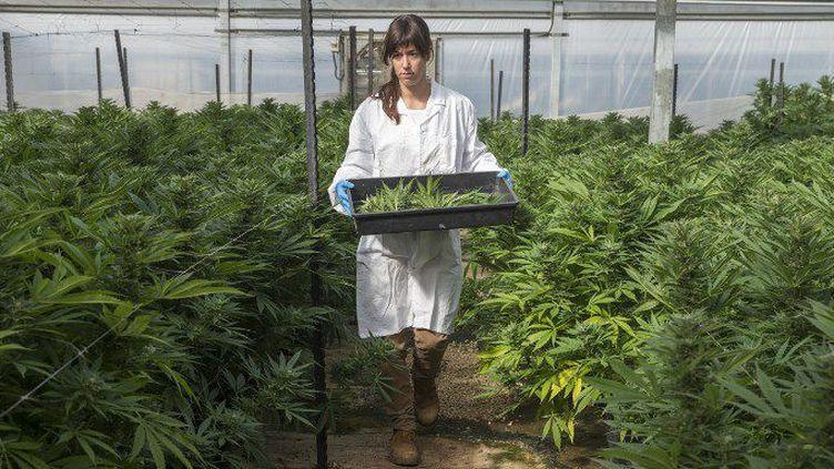 Dans cette ferme, on cultive 50.000 plants de cannabis issus de 230 variétés. (AFP/Jack Guez)