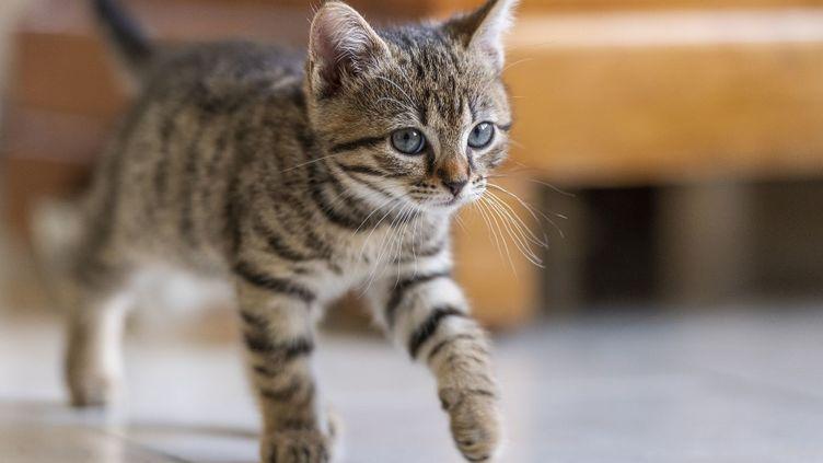 Pistache, une chaton de sept semaines, joue dans la maison de son propriétaire, en Eure-et-Loir, le 25 avril 2019. (BOUILLAND ST?PHANE / HEMIS.FR / HEMIS.FR / AFP)