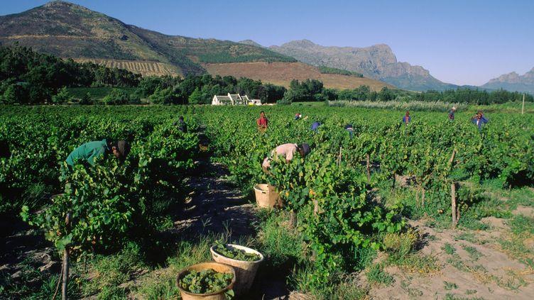 Vendanges dans vallée du Fransschoek, dans la région du Cap (Afrique du Sud),le 03 mars 2013.  (ANTOINE LORGNIER / ONLY WORLD / Only France via AFP)