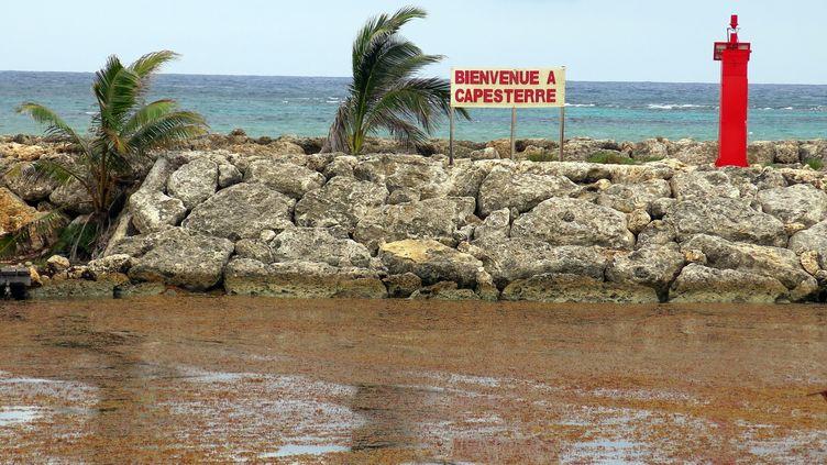 Le retour des sargasses en Guadeloupe et Martinique. (MOREL GILLES / SIPA)