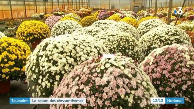 Toussaint : la saison des chrysanthèmes est ouverte