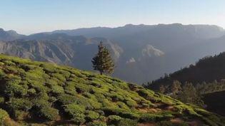 France 2 nous emmène à la découverte des plus belles montagnes du monde. En Inde se cache la plus haute plantation de thé au monde. (FRANCE 2)