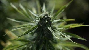 Un plant de cannabis, en Catalogne, le 24 septembre 2020. (JOSEP LAGO / AFP)