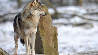 Un loup en Moselle, le 12 décembre 2012. (JEAN-CHRISTOPHE VERHAEGEN / AFP)