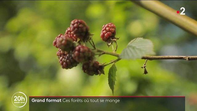 Insolite : à la découverte d'une forêt où tout est comestible